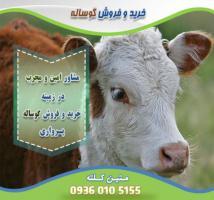 فروش گوساله پرواری در ورامین