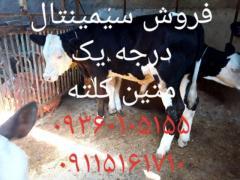 فروش گوساله پرواری دورگ