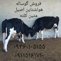 گوساله گوشتی پرواری