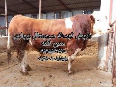 خرید فروش گاو و گوساله