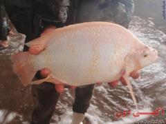 فروش انواع بچه ماهیان تیلاپیا،لارو،یک بند،دو بند و سه بند