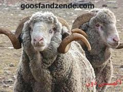 گوسفند زنده را با یک تماس تلفنی خریداری کنید .